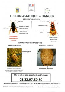 Frelon Asiatique